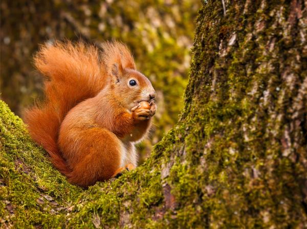 Protected woodland species like the red squirrel are put at risk by the loophole in timber harvesting laws