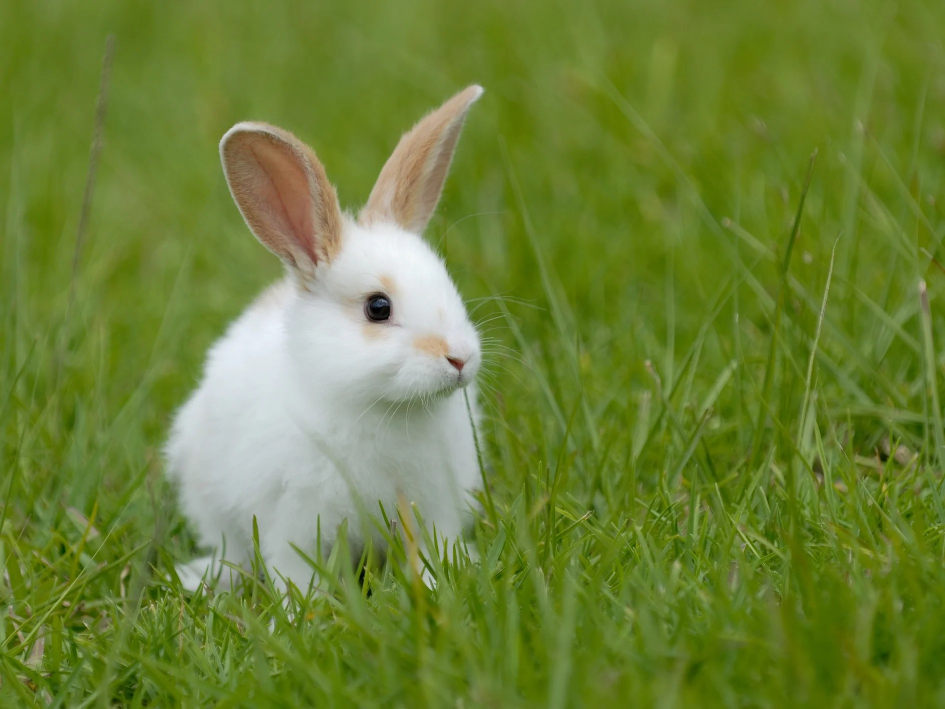 Rabbits Are Stronger And Bigger If They Eat Their Own Faeces Study Finds The Independent The Independent