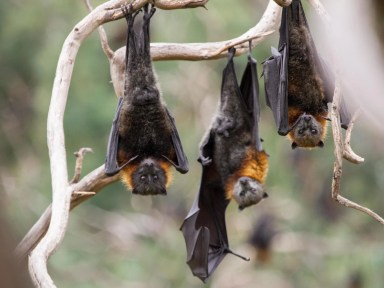 Bats dying 'on biblical scale' due to record-breaking Australia heatwave