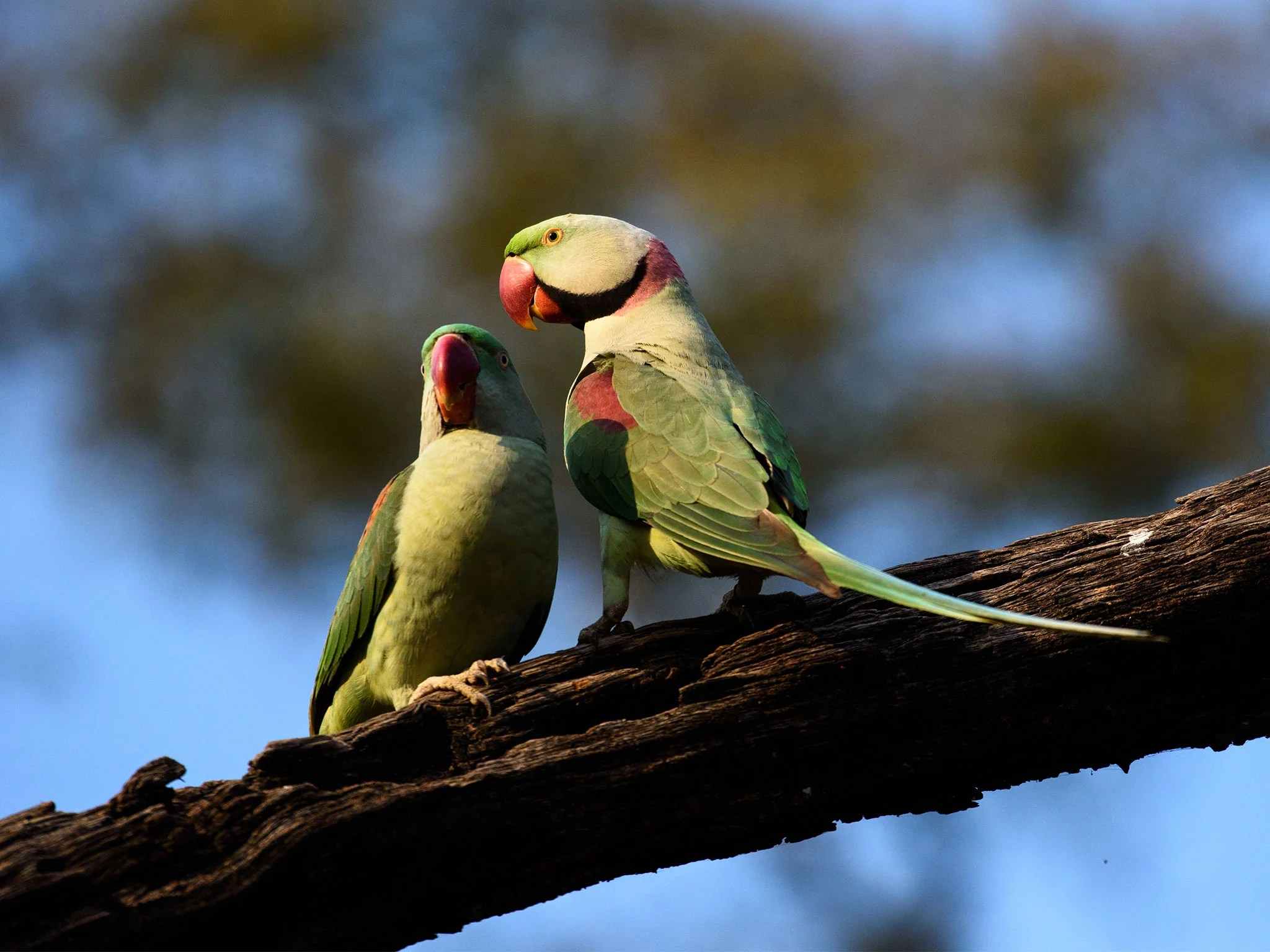 A group of parakeets in India are steeling farmers' opium crops after getting hooked on the drug