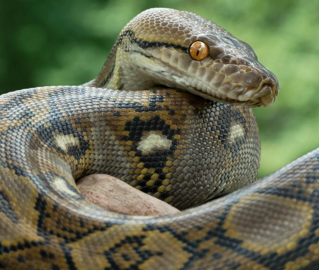Nine Foot Python On Loose In Cambridge The Independent