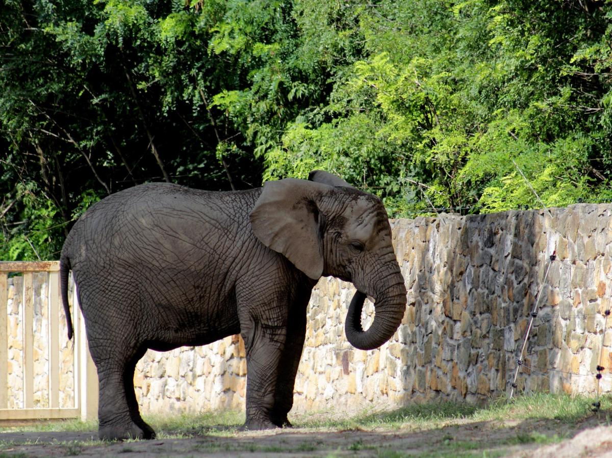 Cannabis oil therapy for treating depressed elephant.
