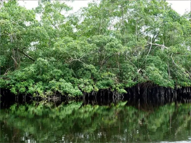 Mangroves are carbon sinks