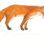 Parcours faune : le renard