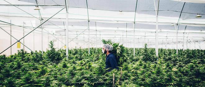 Vue d'une ferme de cannabis de l'entreprise Israel Medical Cannabis.