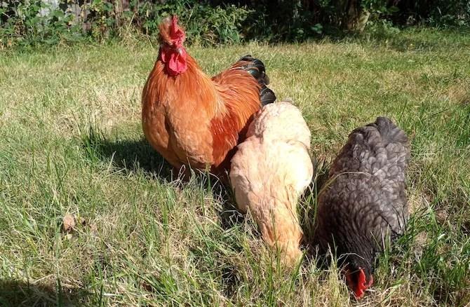Doogee S70 polli foto di esempio
