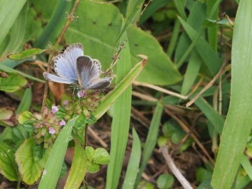 Papillon bleu de l'herbe pâle impacté par les fuites radioactives à la centrale nucléaire de Fukushima.