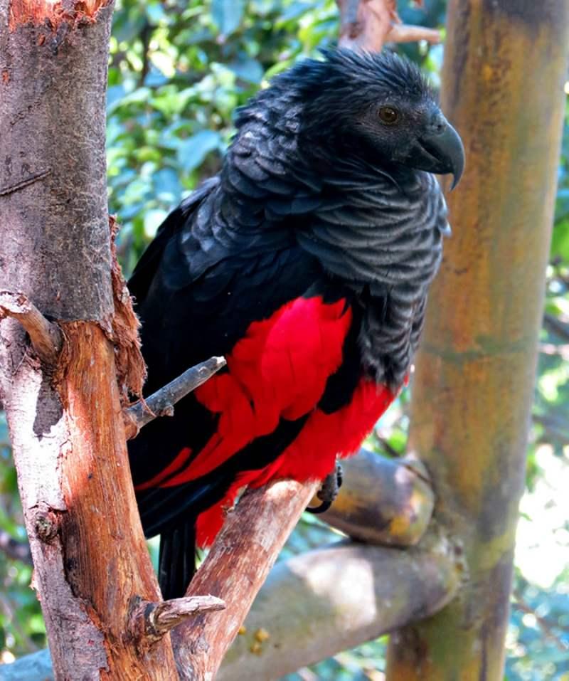 Pesquets-birds-new-guinea-7