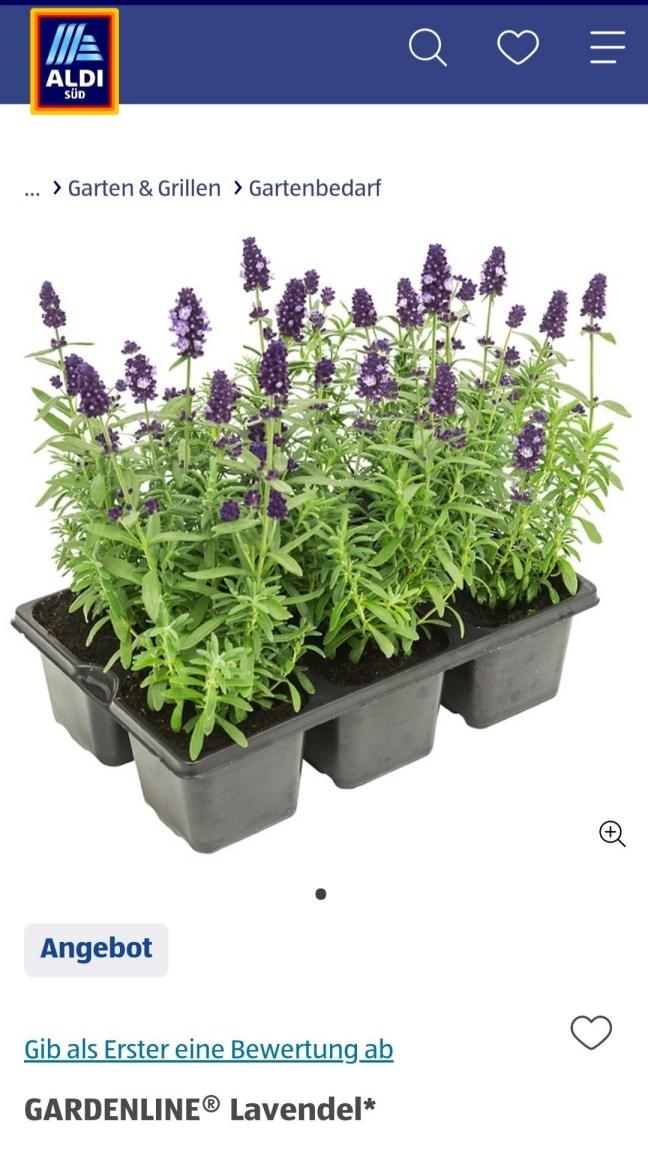 6er Pack Lavendel Aldi