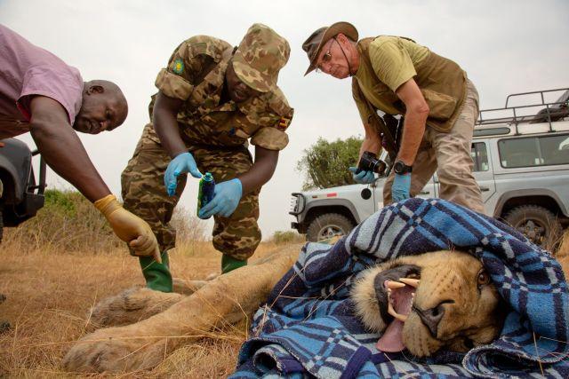 Pesquisadores e guardas florestais instalam um colar de rastreamento em um leão do Parque Nacional Rainha ...