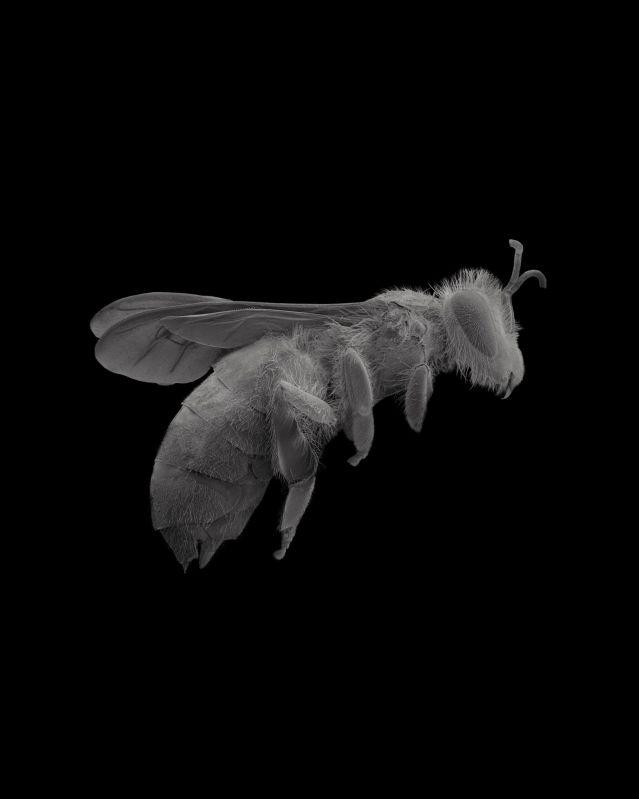worker bee in flight