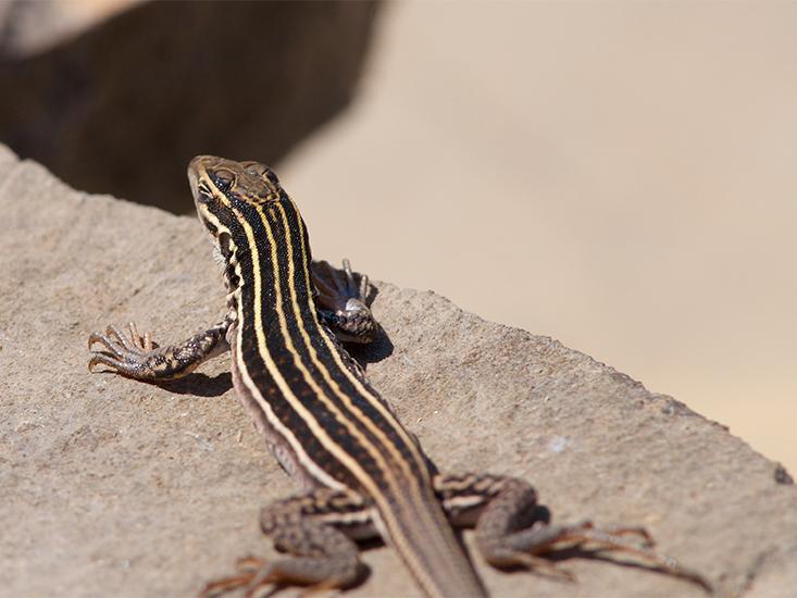 McGowan_BR_lizard
