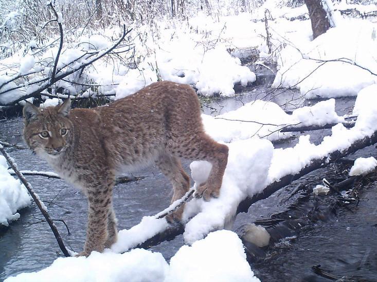 Chernobyl lynx
