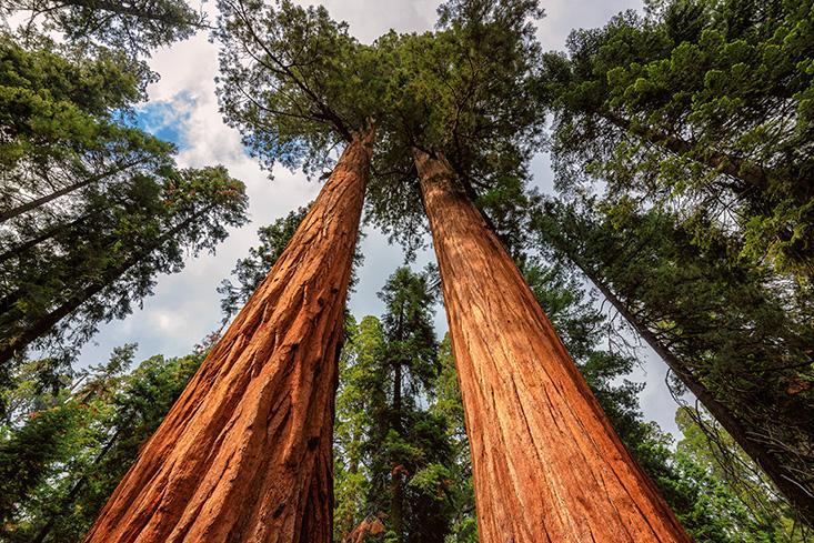 Laughlin_BR-redwoods.