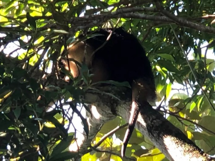 Giant anteater is rescued and returned to nature in Brusque - Press Release / Fire Department