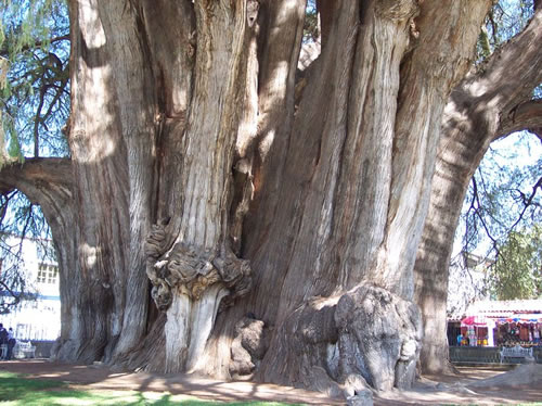 Girth of the Tule Tree