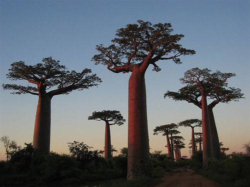 Baobab at sunset