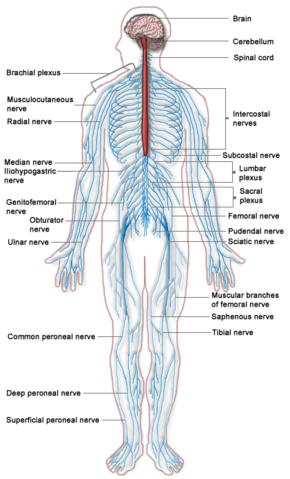 Nervous system  New World Encyclopedia