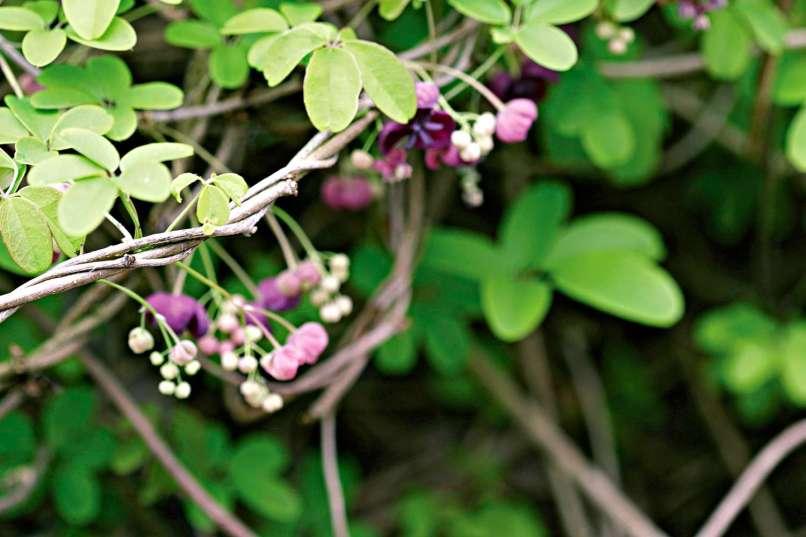 3 Leaf Vine With Blue Flowers | Jidileaf co