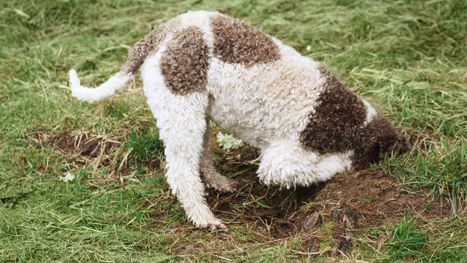 Image result for truffle dog