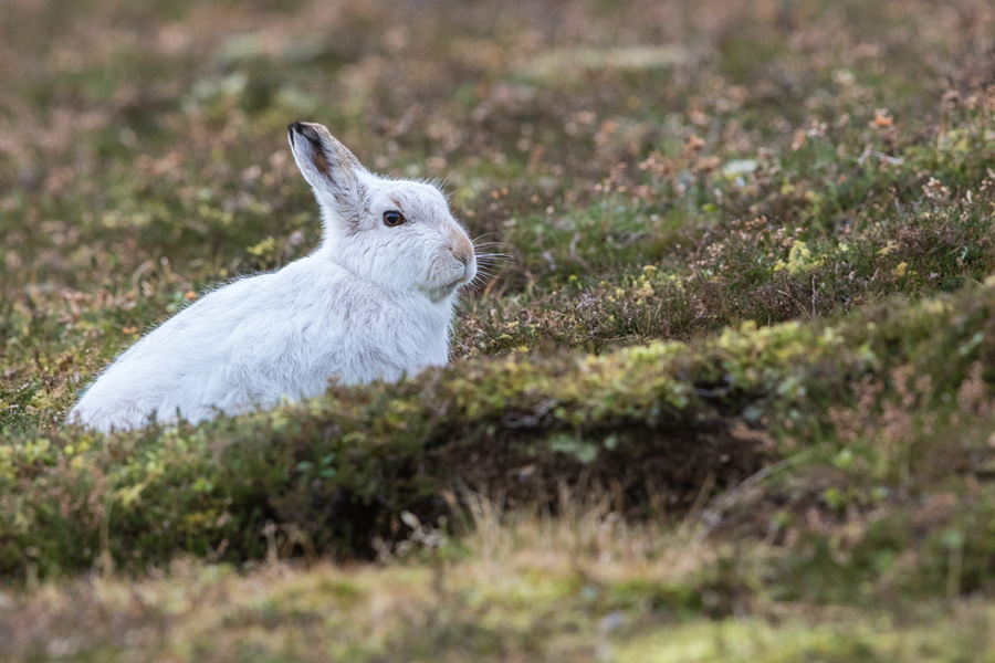 Things To Do In The Peak District: Mountain Hare Watching