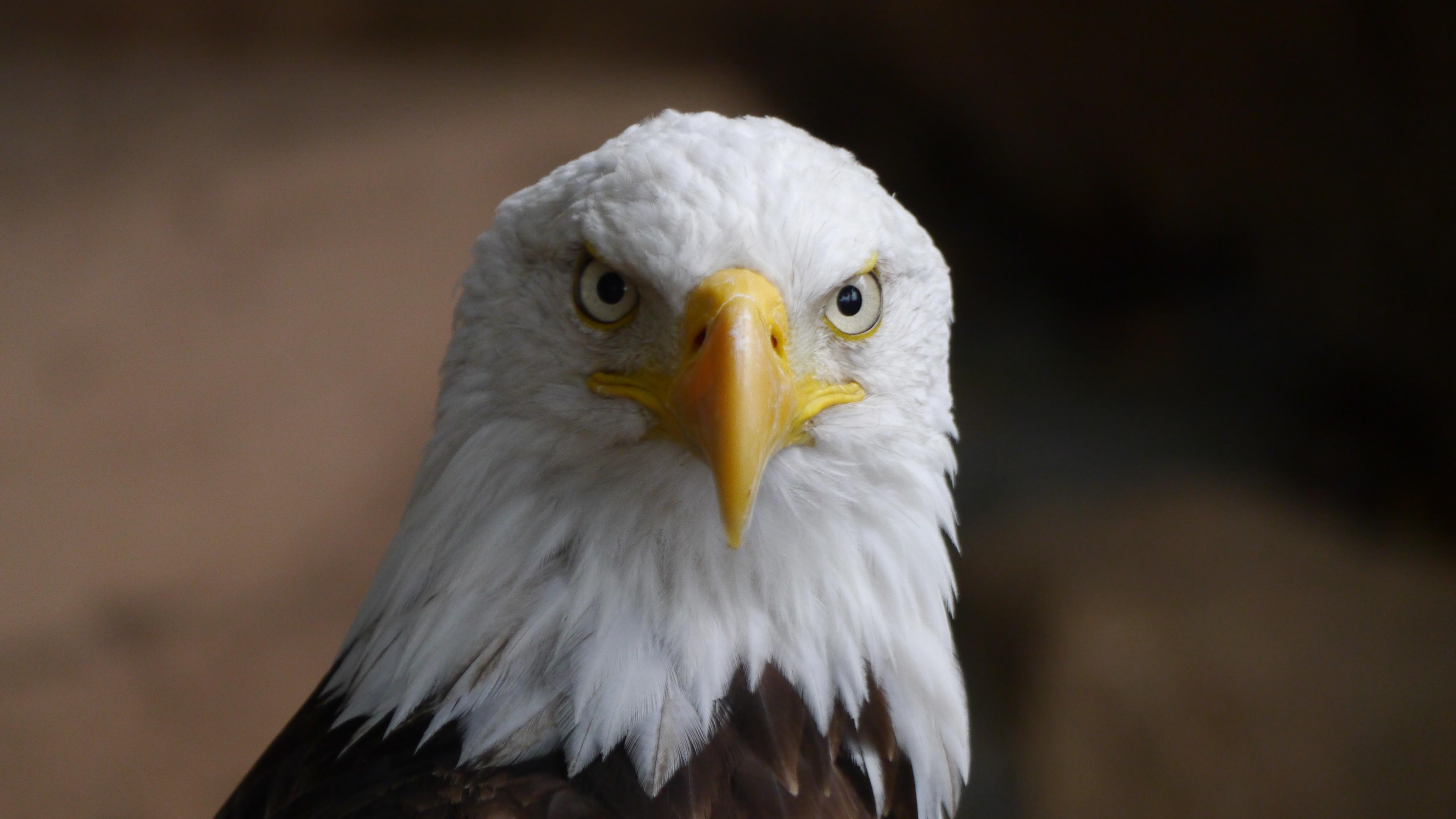 Bald Eagle Free Stock Photo