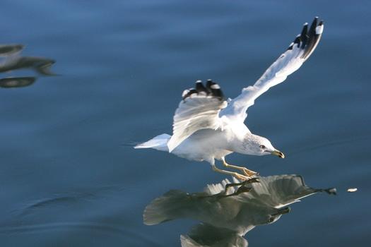 Free stock photo of bird, flying, water, animal