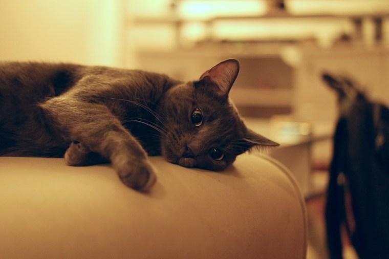 Black and Grey Short Coat Medium Cat