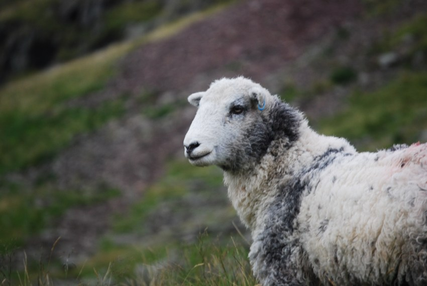 A sheep stares off into the distance.