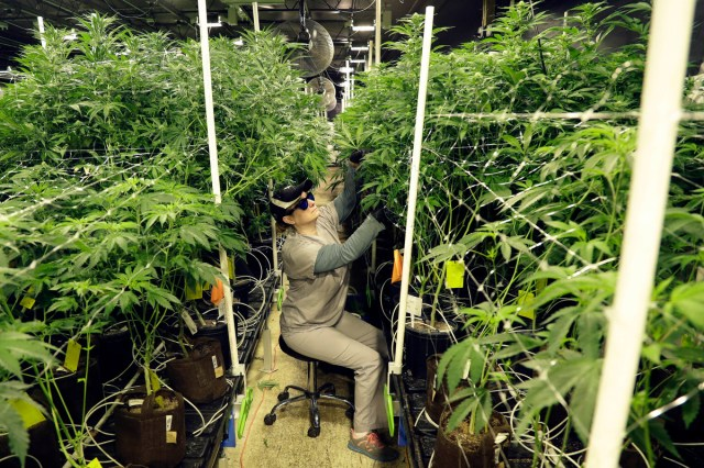 A grow employee at Compassionate Care Foundation's medical marijuana dispensary trims leaves off marijuana plants in the company's grow house in Egg Harbor Township, N.J.