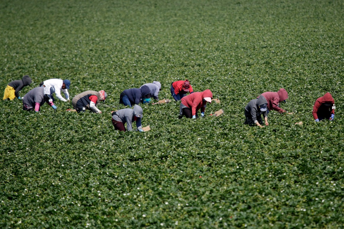 Farmworkers work a strawberry field.