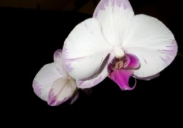 Orchid on Mario Sorrenti's shoot for the next Purple Fashion, New York….
