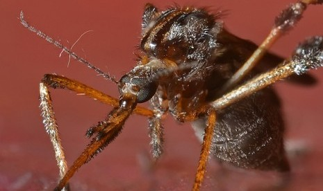 Nyamuk paling ganas di dunia