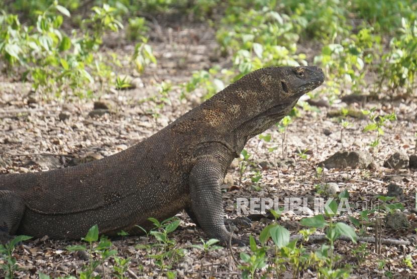 Tour Guides Disturbing Komodo Dragon To Be Blacklisted Republika Online