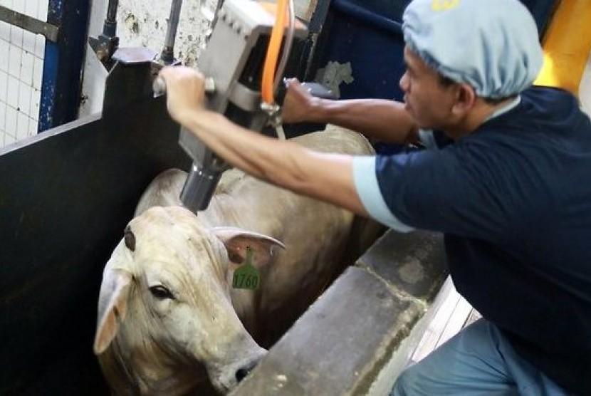 Pemingsanan sapi di sebuah Rumah Potong Hewan (RPH).