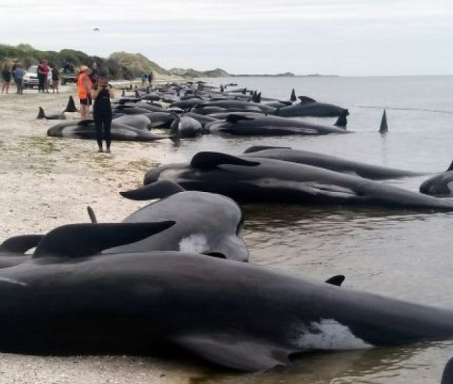 Ratusan Ikan Paus Mati Terdampar Di Pantai Australia Barat