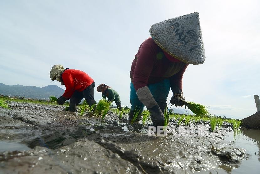 Sejumlah buruh petani tengah menanam benih padi (Ilustrasi)