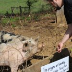 HZDG employees feed Organic Valley pigs