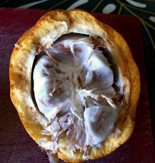 Organic chocolate starts in the cacao pod