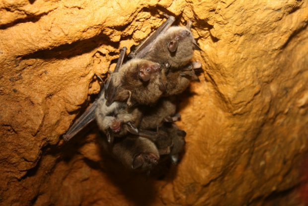 A small group of little brown bats cluster on a cave wall to keep warm.