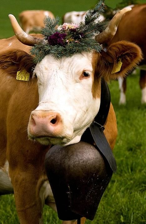 A European cow wears a huge cowbell and a crown of evergreen branches and flowers.