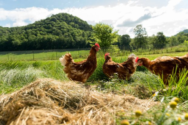 Free range pastured chickens on the Trussoni farm.
