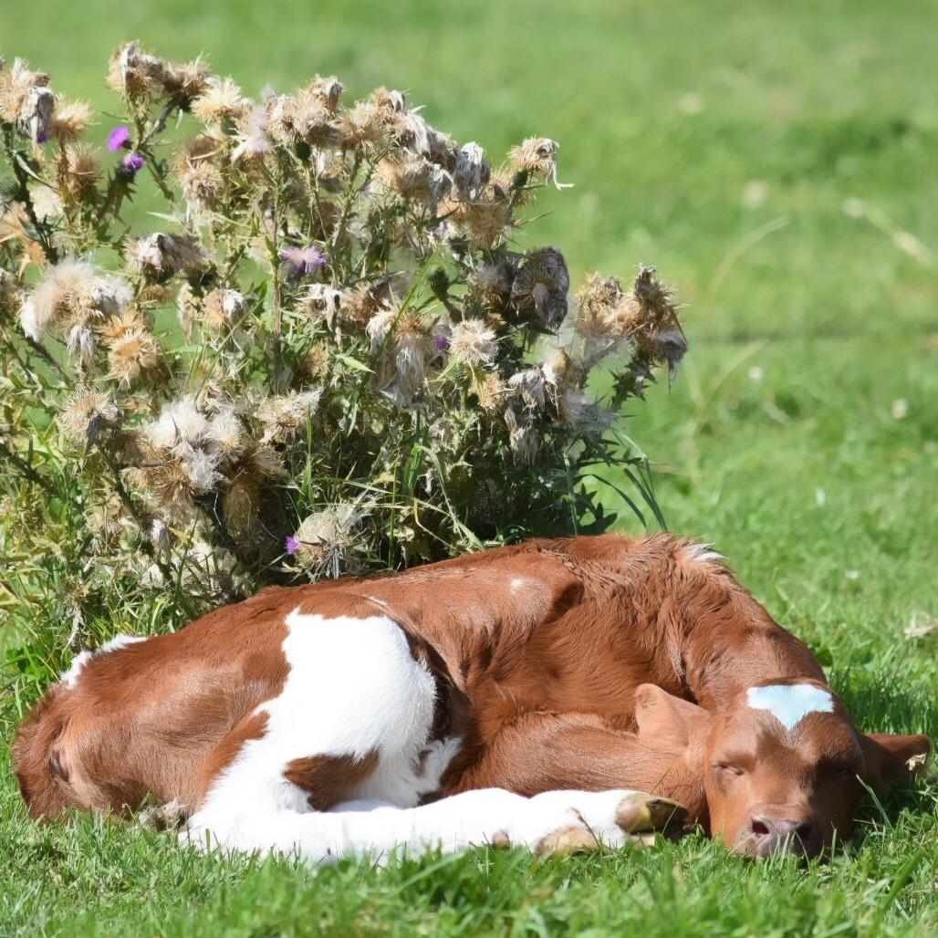 Calf sleeping in the sun.