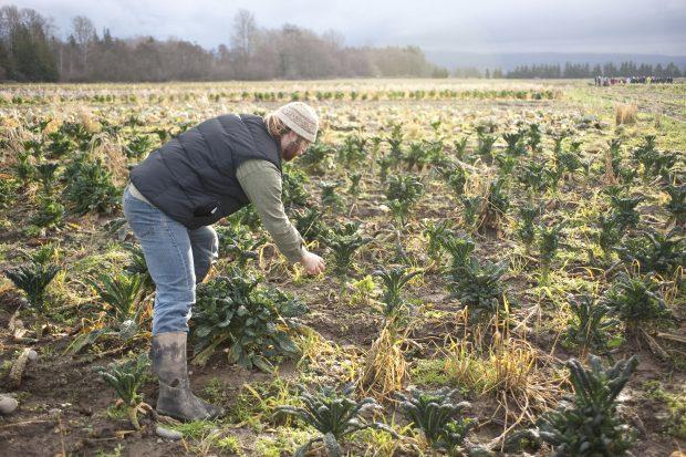 A Washington farmer tends a field of kale plants.