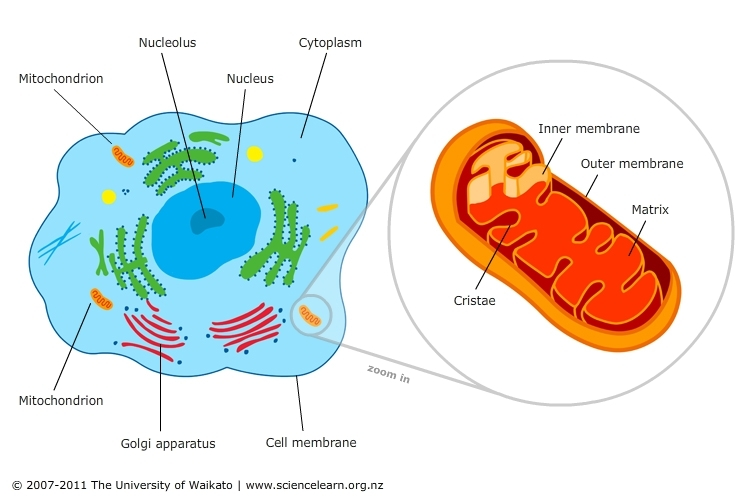How Cells Get Energy Mitochondria