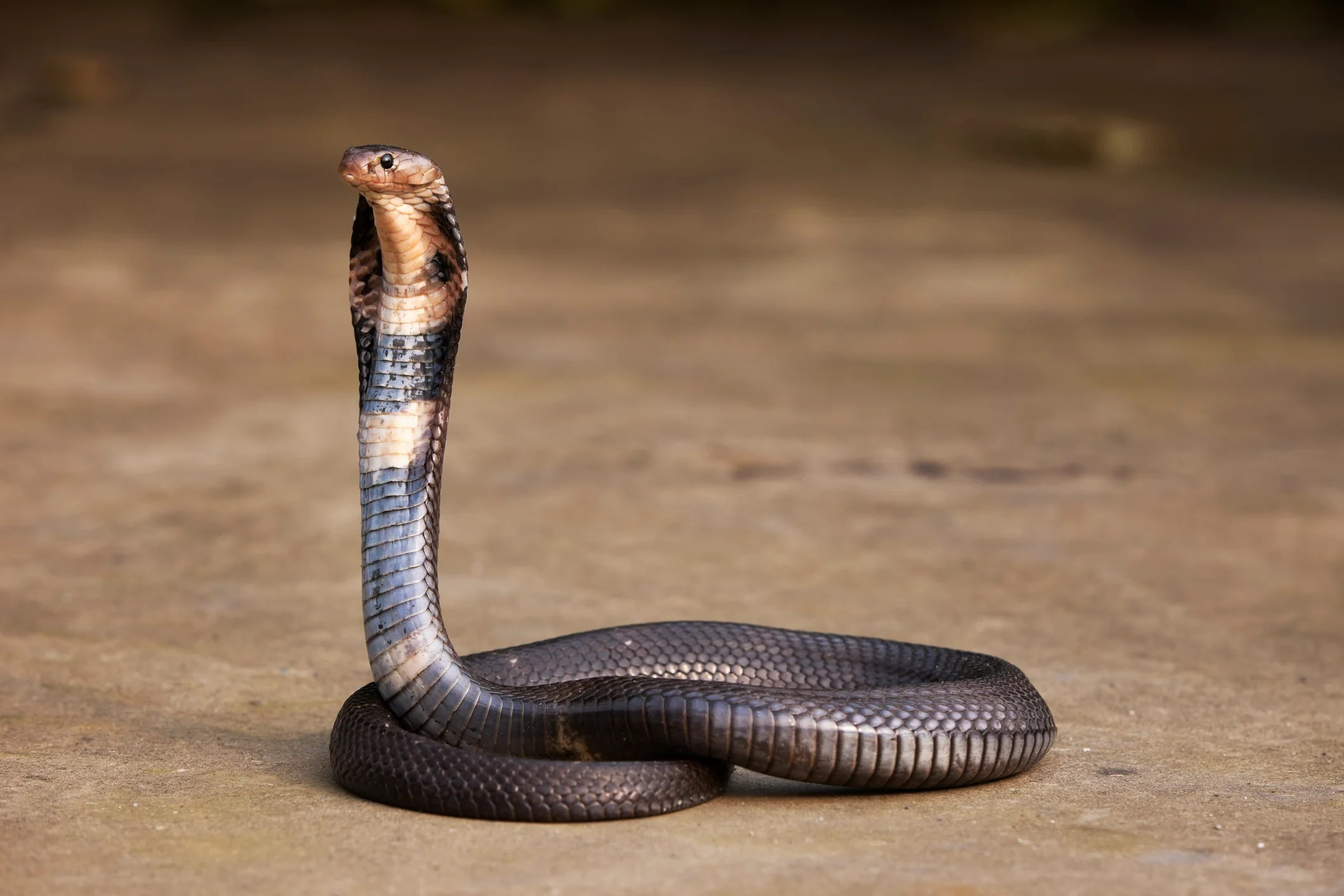 Snakes May Be the Unique Supply of the New Coronavirus Outbreak in China - Periodical 360