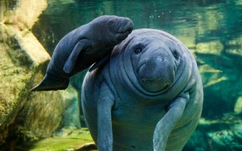 Image result for manatee