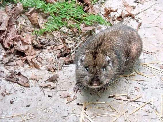 The Pacific Northwests Elusive Mountain Beaver The