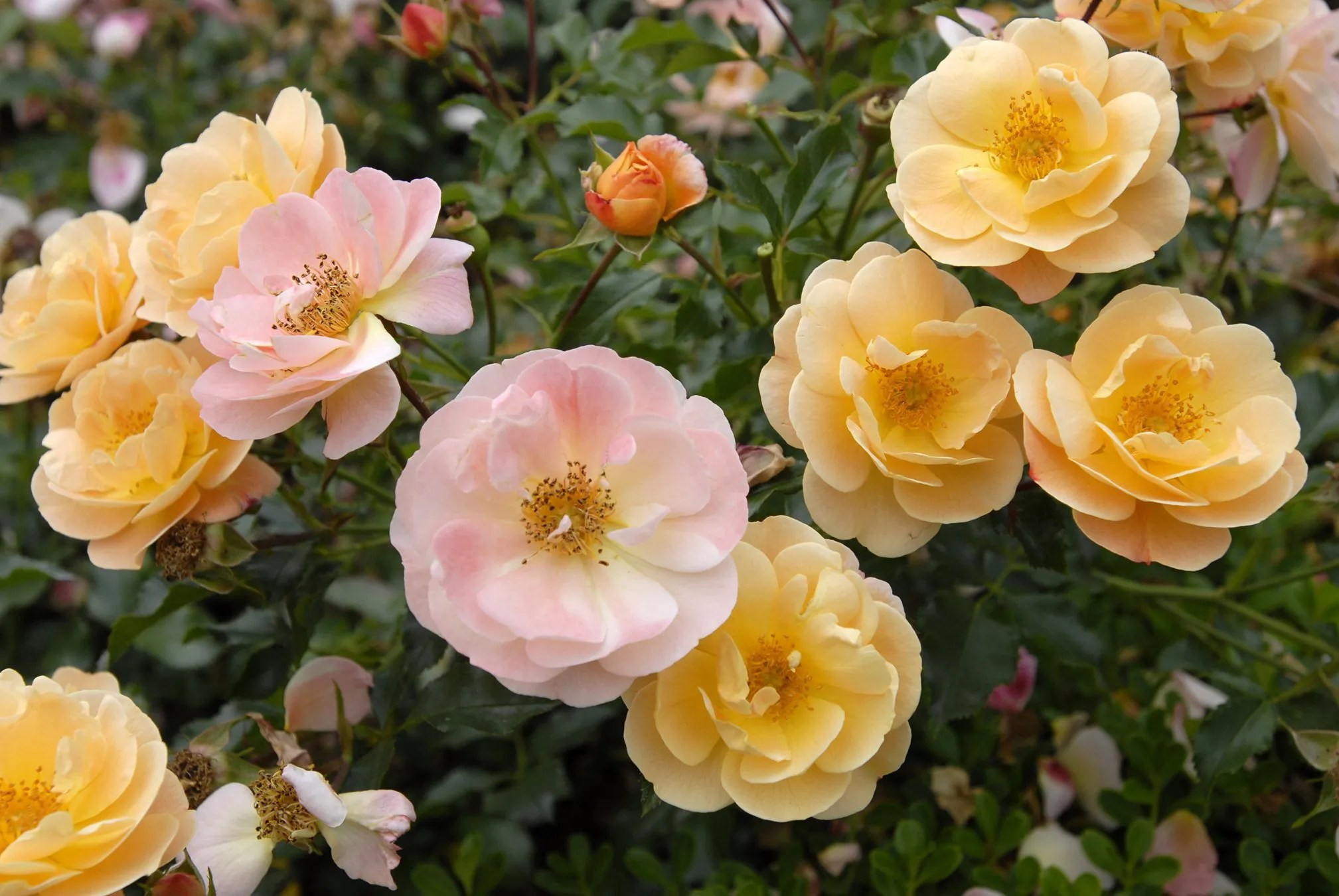 Fun New Ways You Can Make Roses Part Of Your Garden The