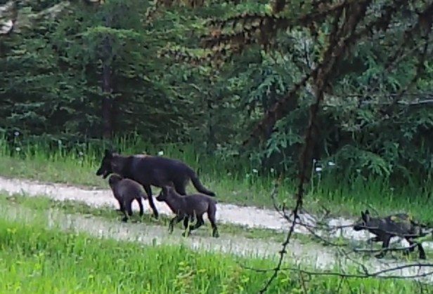A motion-triggered wildlife camera near the den of the original Profanity Peak pack captures the family in 2016. Seven pack members were shot by Department of Fish and Wildlife after the wolves killed cattle on public land at the Colville National Forest. (WSU wolf livestock research program)